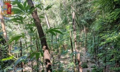 Mongiana, scoperta una piantagione di marijuana nel bosco