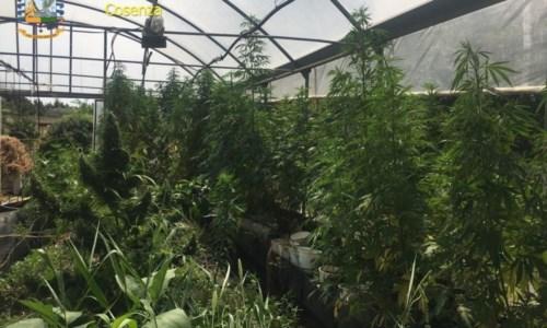 L'operazione antidrogaSequestrati 800 chili di marijuana, la finanza di Cosenza arresta un barese in trasferta in Calabria