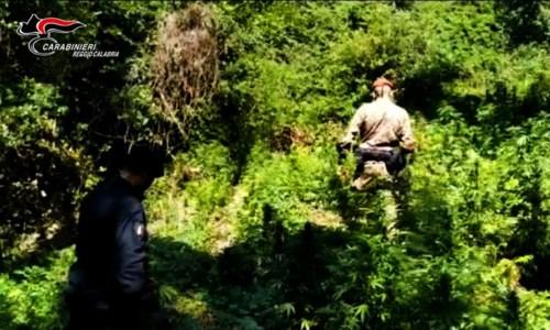 Cinquefrondi, scoperta e sequestrata una piantagione di canapa indiana