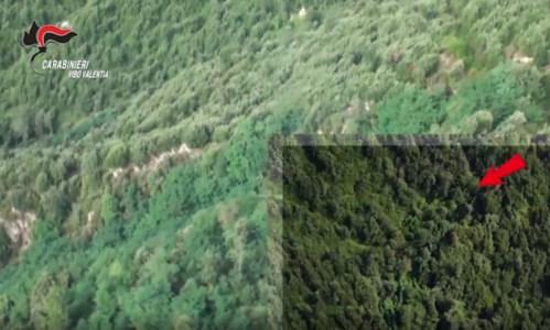Contrasto alla drogaOltre mille piante di marijuana scoperte nel Vibonese: avrebbero fruttato 900mila euro