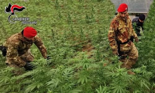 Rinvenute e sequestrate 250 piante di marijuana nel Reggino: avrebbero fruttato migliaia di euro
