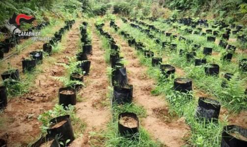 Il vivaio di marijuana scoperto a Gerocarne