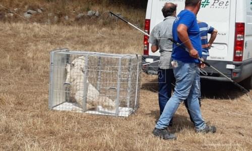 Uno dei cani catturati a Satriano