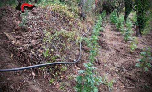 Il blitzNicotera, beccati mentre curano 236 piante di marijuana: arrestati