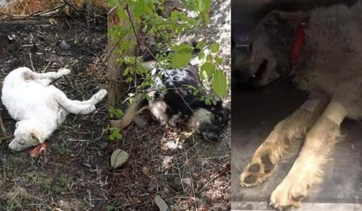 RandagismoCatanzaro, strage di cani dopo la morte di Simona. I volontari: «Violenza inutile, servono controlli»