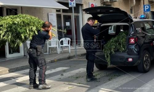 Contrasto alla drogaCetraro, i carabinieri scoprono e distruggono 500 piante di marijuana