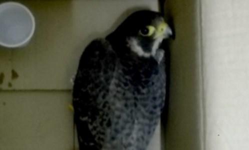 Il recuperoVolontari salvano un falco pellegrino ferito a colpi di fucile nel Reggino