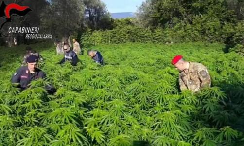 Marijuana nella Locride, scoperte a Placanica due piantagioni