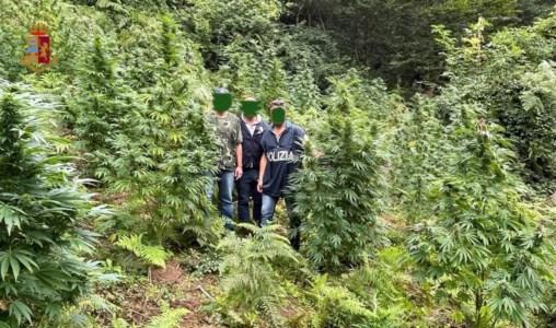 Il blitzNuova piantagione scoperta nel Cosentino: la marijuana avrebbe fruttato 150mila euro di guadagno