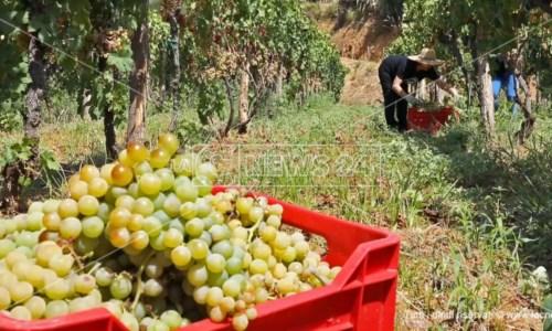 Prodotti da scoprirePremiato anche dal New York Times per il suo vino zibibbo, dall'amore per la Calabria la storia di un'eccellenza