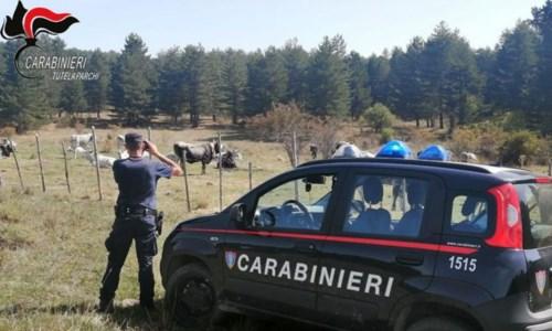 Parco della Sila, controlli a tappeto sulla gestione dei pascoli: elevate sanzioni per più di 7mila euro