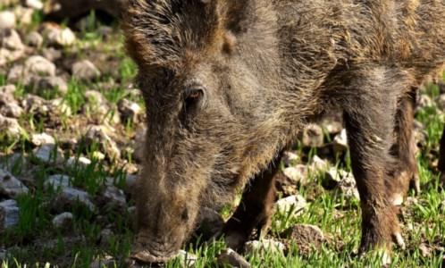 L'iniziativaEmergenza cinghiali, il Partito animalista presenta un Piano: «Uccidere non serve»