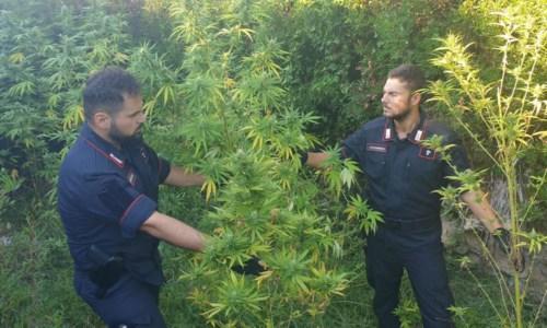 Droga nel CrotoneseScoperta una piantagione di marijuana a Isola Capo Rizzuto: due arresti