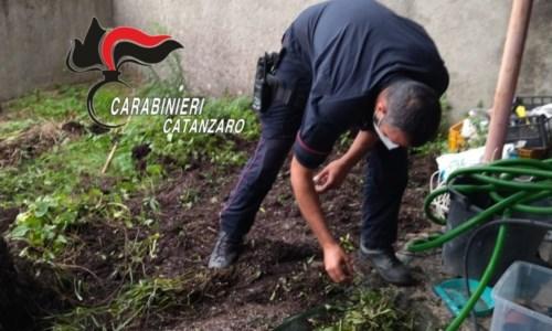 Rinvenute 38 piante di marijuana in un giardino: arrestato 45enne nel Catanzarese