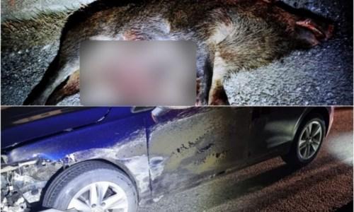 Corigliano Rossano, branco di cinghiali invade la statale 106: uno viene travolto da 2 auto e ucciso