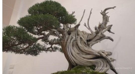 L'eventoL'antica arte del bonsai in mostra a Catanzaro fino a domenica
