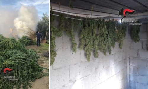 Lamezia Terme, sequestrate e distrutte più di 900 piante di marijuana: deferite 2 persone