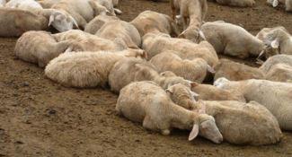 """Casi """"pecora pazza"""" nel Vibonese, l'Asp dispone l'abbattimento di 4 ovini"""