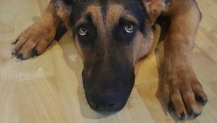 Cane muore soffocato dalla catena, denunciato proprietario