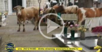 Vacche nel cimitero intente a brucare fiori freschi sulle tombe (Video)