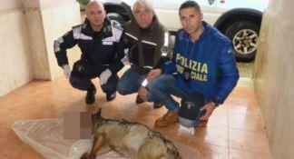 La carcassa del lupo