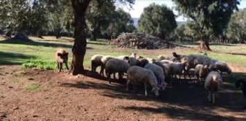In Calabria cinghiali a spasso con pecore e agnelli