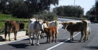 Vacche sacre in strada