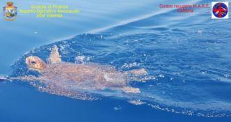 Torna il libertà Ella, la tartaruga salvata al largo di Amantea