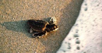 Lo spettacolo delle tartarughe, 45 piccole nate sulla spiaggia di Sibari