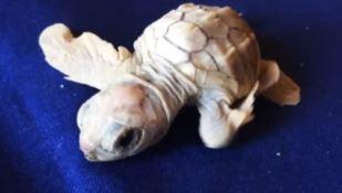 Si schiudono le uova di caretta caretta in Calabria: sorpresa per la nascita di una tartaruga albina -VIDEO