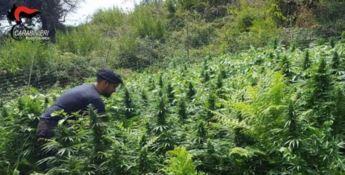 Vasta piantagione di marijuana rinvenuta nel Reggino