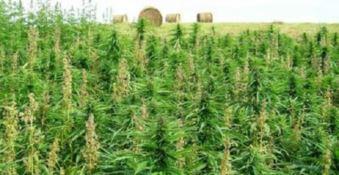 La piantagione di cannabis indica scoperta a Nardodipace