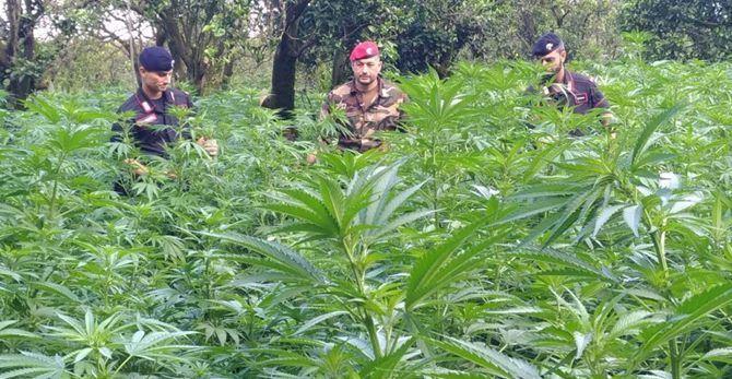 La piantagione di marijuana rinvenuta