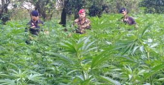 Oltre 28mila piante di marijuana nel Reggino, arrestati i fratelli Arena