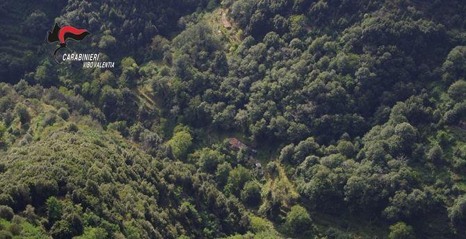 L'area di dieci coltivazioni di canapa indiana scoperta a Nardodipace, nel Vibonese