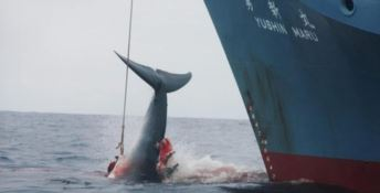 Oltre 50 balene massacrate, il Wwf denuncia il Giappone