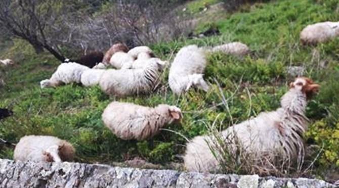 Pecore al pascolo - Repertoiro