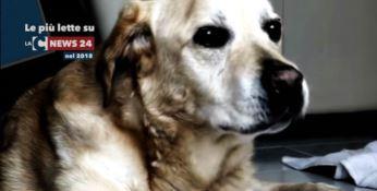 Il labrador Dylan
