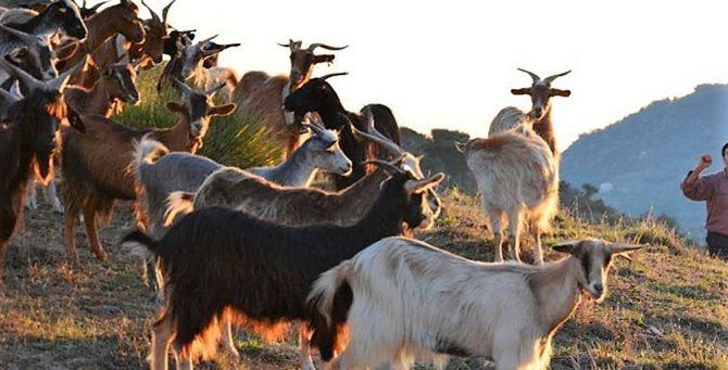 Un gregge di capre