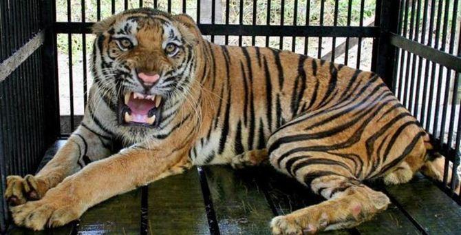 Una tigre in gabbia