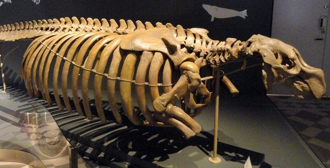 Lo scheletro di un sirenide - Foto di repertorio