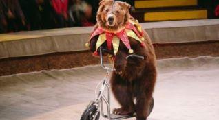 Orso al circo
