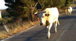 Mucche a passeggio nei boschi di Savelli, sanzionato allevatore