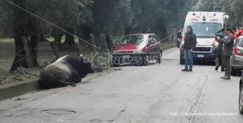 Paura durante l'operazione per catturare le vacche sacre, auto travolge un grosso bovino (VIDEO)