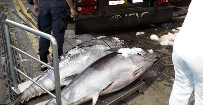 Due esemplari di tonno