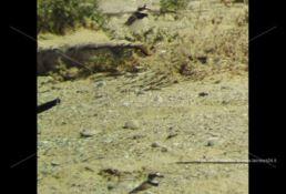Tra le dune dell'Angitola si schiudono le uova di una rara specie di uccello