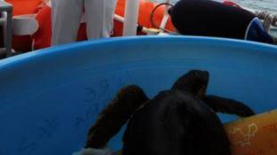 Curata e liberata in mare la tartaruga marina ferita