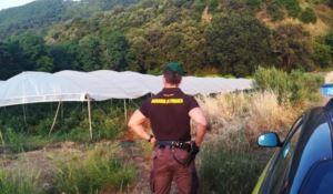 Maxi piantagione di canapa nel Vibonese, eseguite due misure cautelari