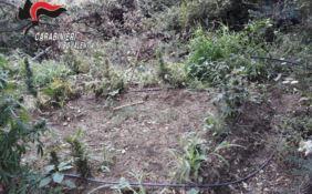Maxi piantagione di marijuana scoperta nel Vibonese