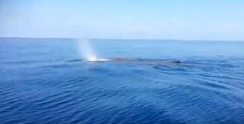La balena avvistata a Praia a Mare